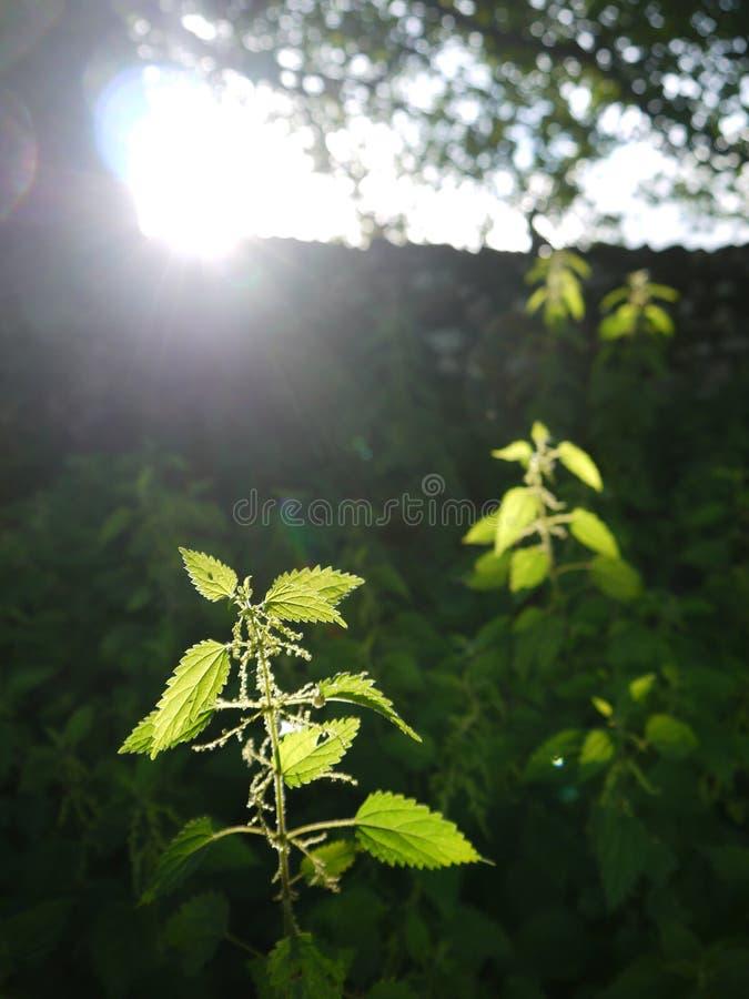 农场: 在域的被日光照射了荨麻 免版税库存图片