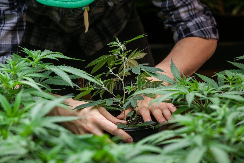 农夫与他的大麻一起使用 免版税库存图片