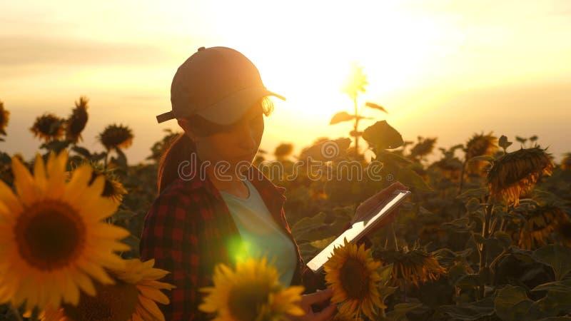 农夫人与在一个向日葵领域的一种片剂一起使用在日落光 农艺师学习a庄稼  免版税库存图片