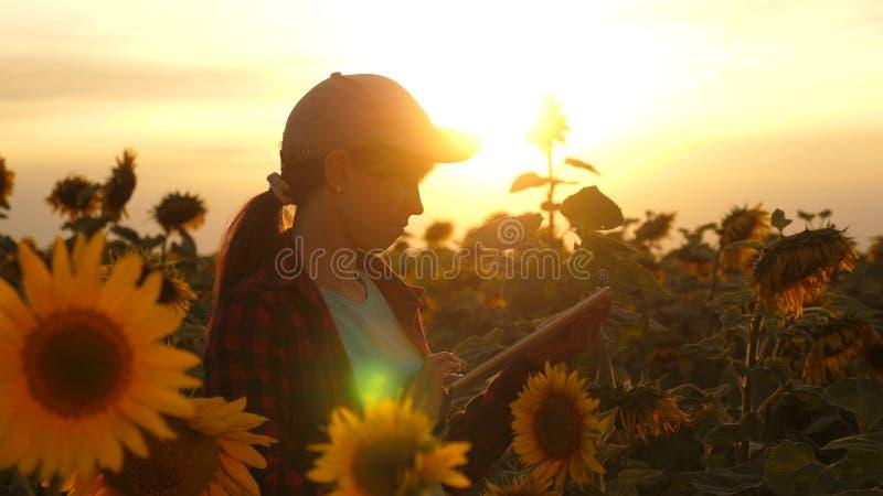 农夫人与在一个向日葵领域的一种片剂一起使用在日落光 农艺师学习a庄稼  库存照片