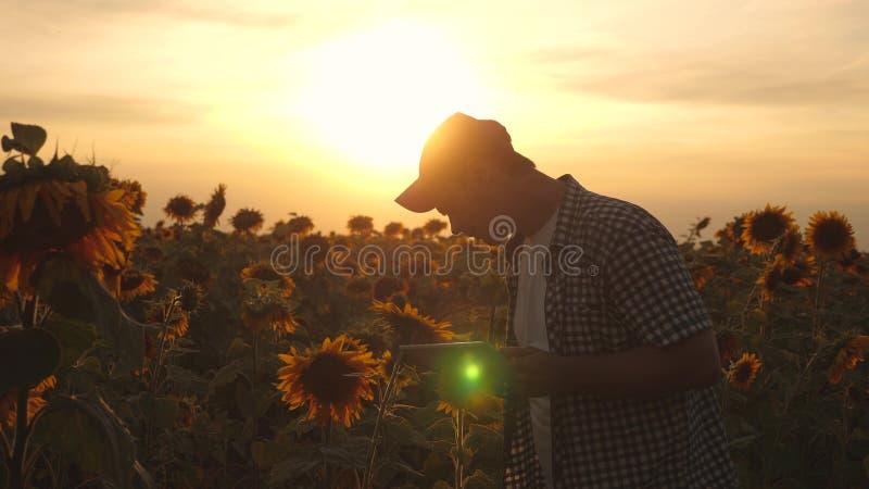 农夫人与在一个向日葵领域的一种片剂一起使用在日落光 农艺师学习a庄稼  图库摄影