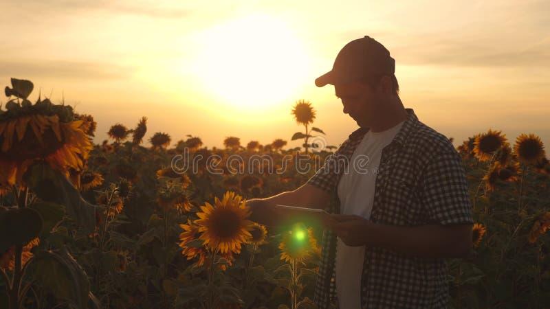 农夫人与在一个向日葵领域的一种片剂一起使用在日落光 农艺师学习a庄稼  免版税库存照片