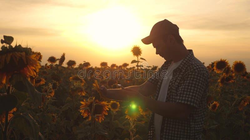 农夫人与在一个向日葵领域的一种片剂一起使用在日落光 农艺师学习a庄稼  库存图片