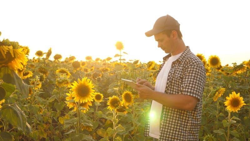 农夫人与在一个向日葵领域的一种片剂一起使用在日落光 农艺师学习a庄稼  免版税图库摄影