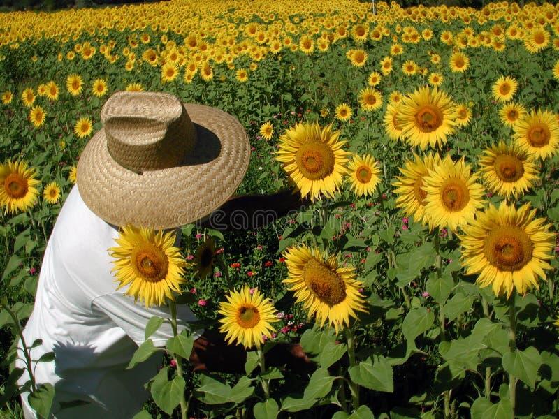 农夫向日葵 库存图片
