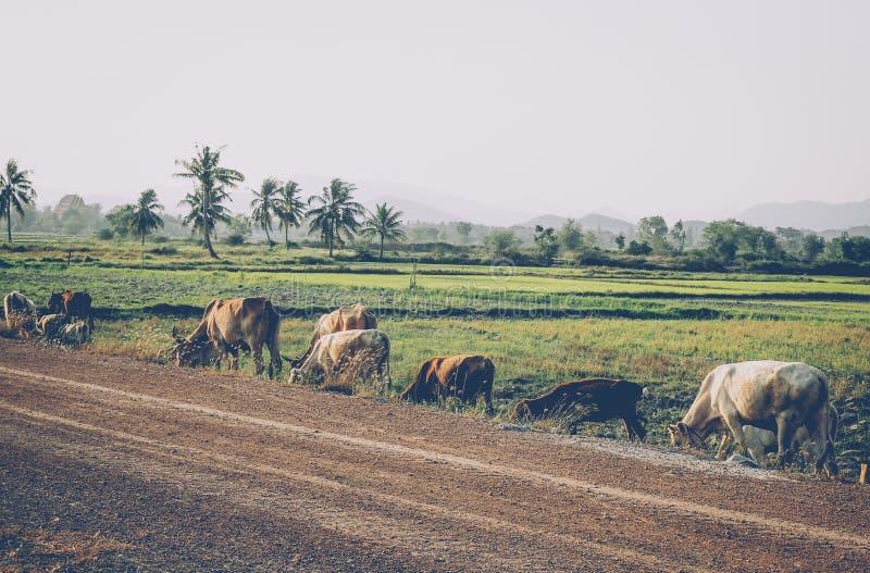农夫和他的水牛沿一条路走,在农村泰国 在农村的日出在水牛城附近镇  免版税库存照片