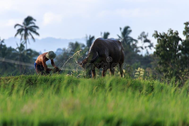 农夫和他的母牛在西部苏门答腊 免版税库存图片