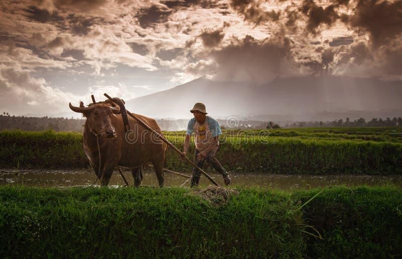 农夫和他的母牛在西部苏门答腊 库存照片