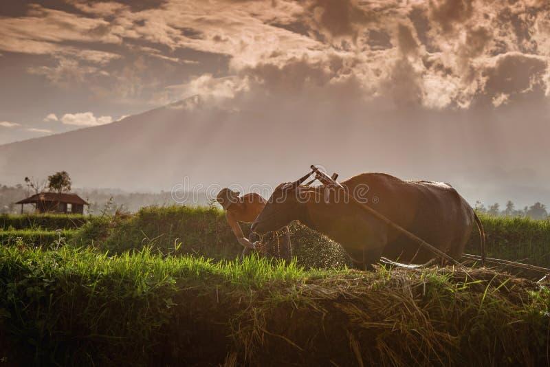 农夫和他的母牛在西部苏门答腊 免版税图库摄影