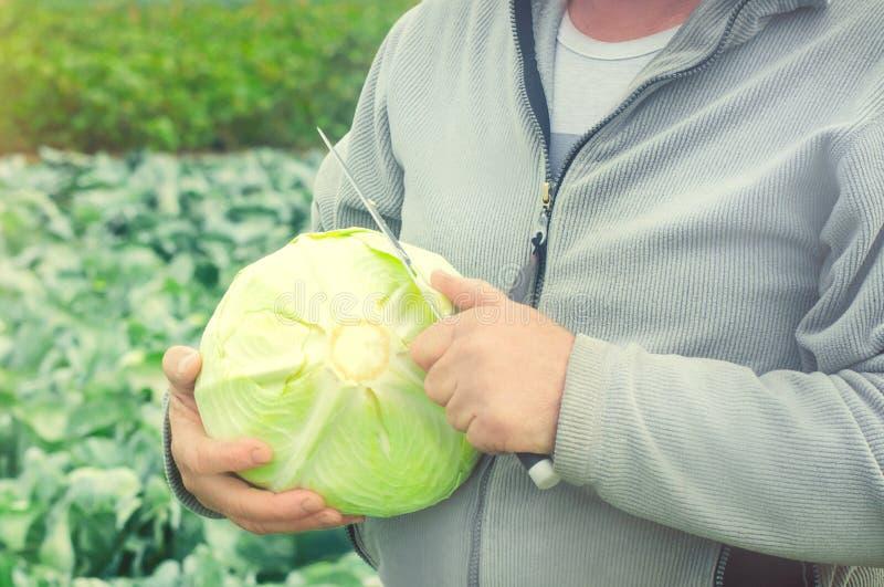 农夫在他的手上举行新近地采摘了圆白菜 收获在领域 E 农业和种田 ?? 图库摄影