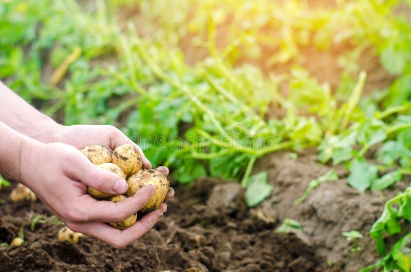 农夫在他的手上拿着年轻黄色土豆,收获,在领域的季节工作,新鲜蔬菜,农业文化,种田 免版税库存照片