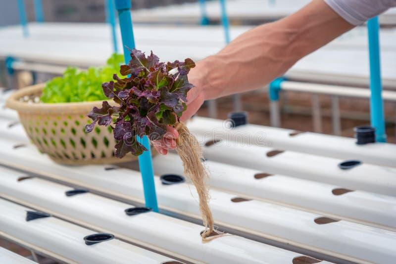 农夫在农场,泰国收集绿色水耕的有机沙拉菜 r 库存照片