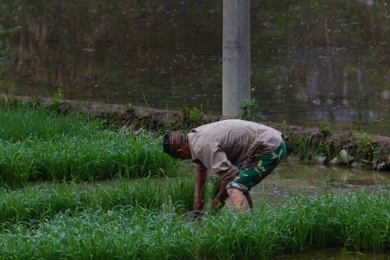 农夫在农村中国种植米 免版税库存图片