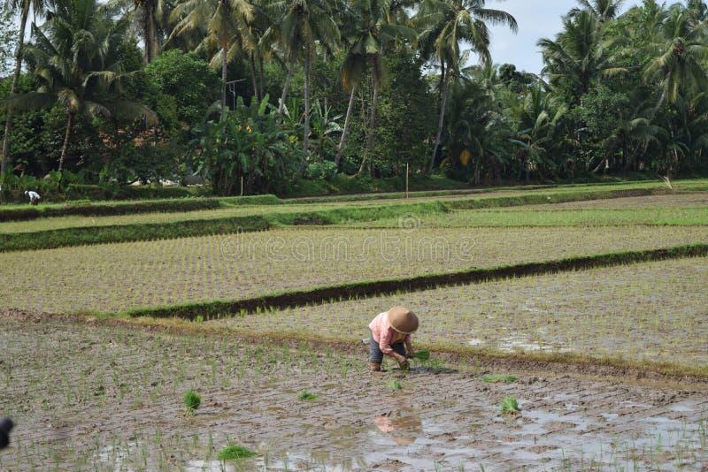 农夫在稻田的植物米 库存照片