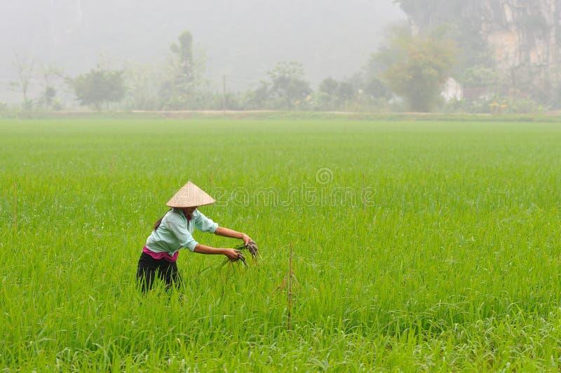农夫在米领域工作 库存图片