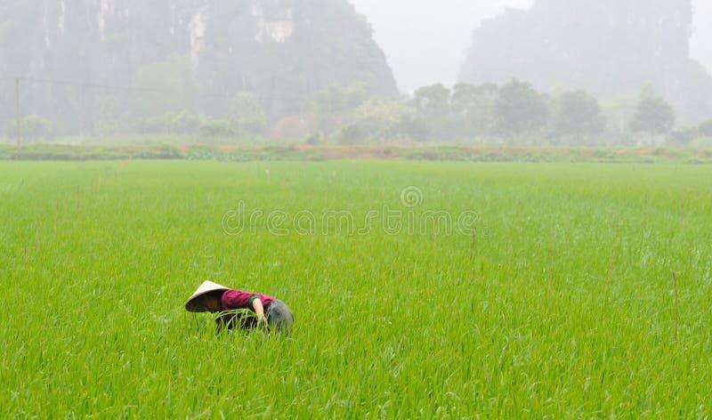 农夫在米领域工作 免版税库存照片