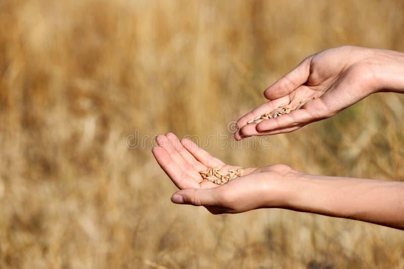 农夫在领域,特写镜头的麦子五谷 谷物种田 库存照片