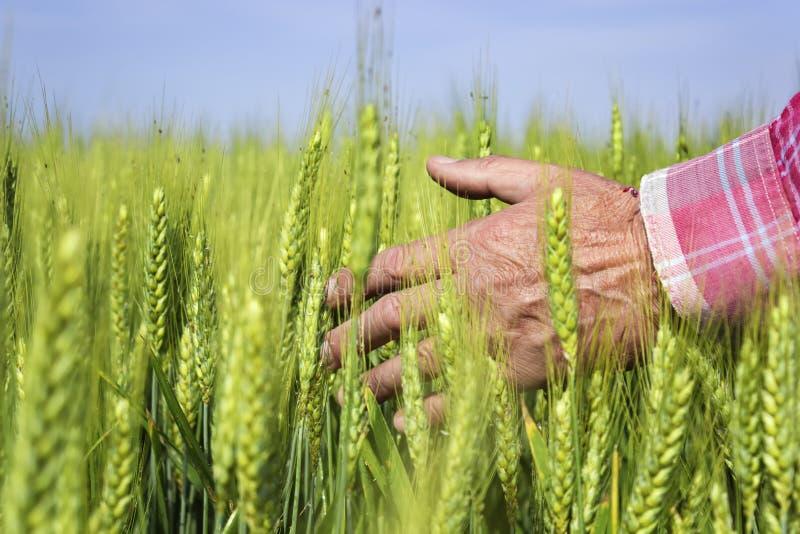 农夫在麦田递 焦点在手边 免版税库存照片
