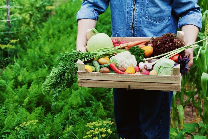 农夫在他的手上拿着有有机根菜和收获庄稼的一个木箱在庭院的背景的 免版税库存图片