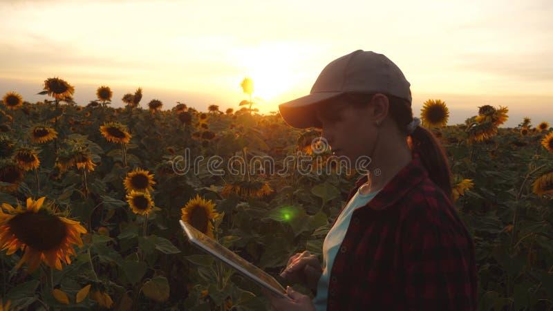 农夫妇女与在一个向日葵领域的一种片剂一起使用在日落光 农艺师学习向日葵收获  库存照片