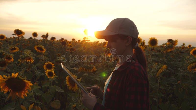 农夫妇女与在一个向日葵领域的一种片剂一起使用在日落光 农艺师学习向日葵收获  免版税库存图片