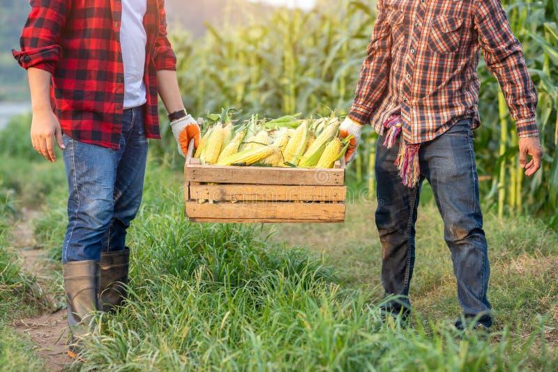 农夫帮助培养包含甜玉米的条板箱被收获在麦地 农夫收获在玉米的甜玉米 库存图片