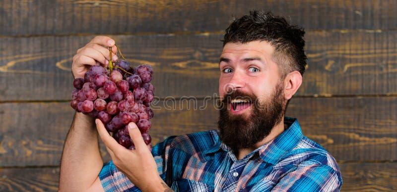 农夫感到骄傲为收获葡萄 人有胡子的愉快的微笑拿着葡萄木背景 种田有机的收获和 免版税库存图片