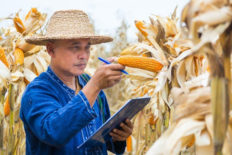 农夫或生物学家检查检查或分析并且研究未加工的玉米棒子 免版税库存图片