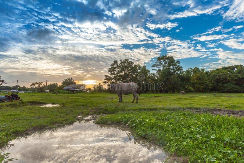 农夫拉扯他的回到摊位的水牛 免版税库存图片