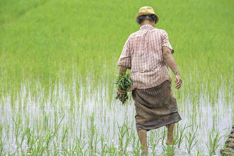 农夫是女服拿着的帽子粮食作物在与沼泽地的稻田在BangYai公园,暖武里在泰国 免版税库存图片