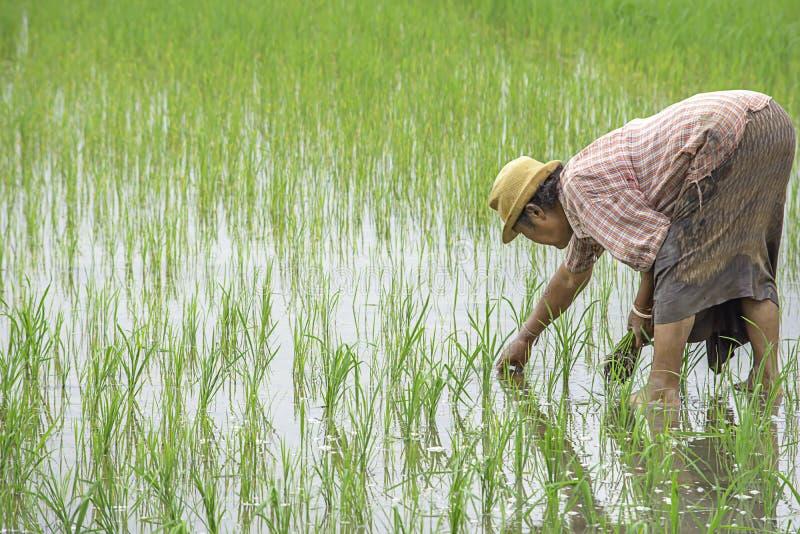 农夫是女服拿着的帽子粮食作物在与沼泽地的稻田在BangYai公园,暖武里在泰国 库存照片