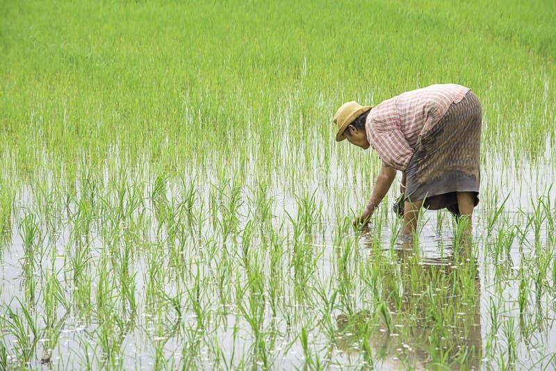 农夫是女服拿着的帽子粮食作物在与沼泽地的稻田在BangYai公园,暖武里在泰国 库存图片