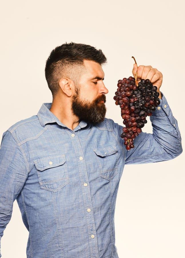 农夫显示他的收获种葡萄并酿酒的人用梦想的面孔气味葡萄 库存图片