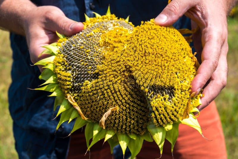 农夫显示被种植的向日葵 免版税库存图片