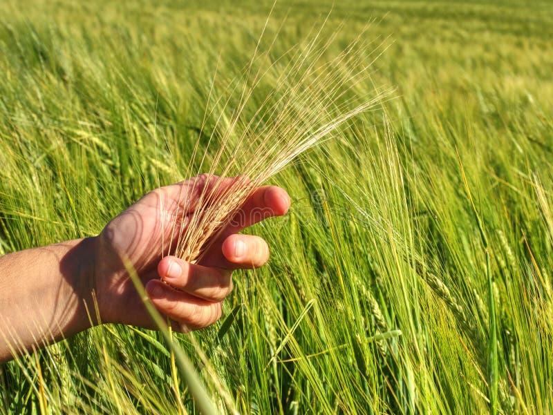 农夫检查与他的手小尖峰未成熟的麦子 免版税库存照片