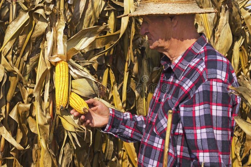 农夫检查玉米 免版税库存照片
