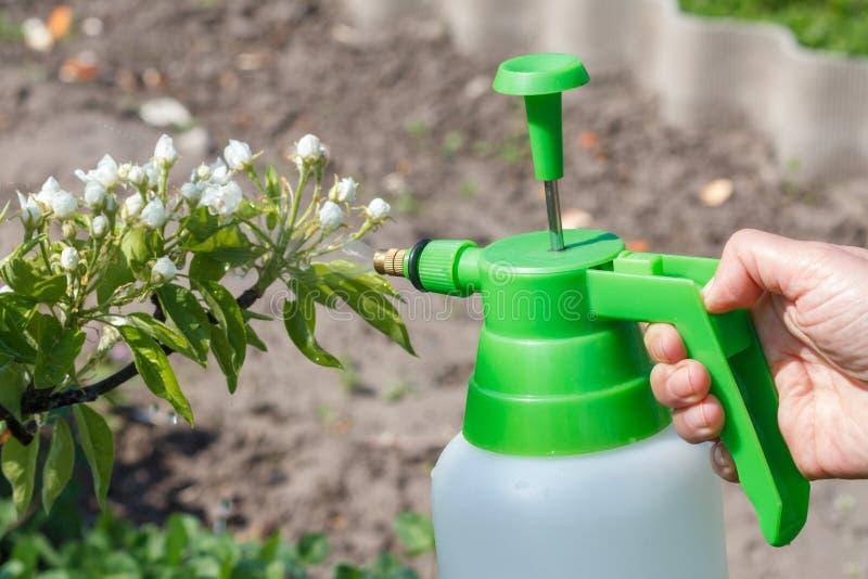 农夫洒在洋梨树分支的水解答与花 免版税库存照片