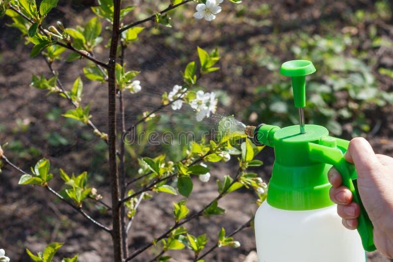 农夫洒在苹果树分支的水解答与花 免版税图库摄影