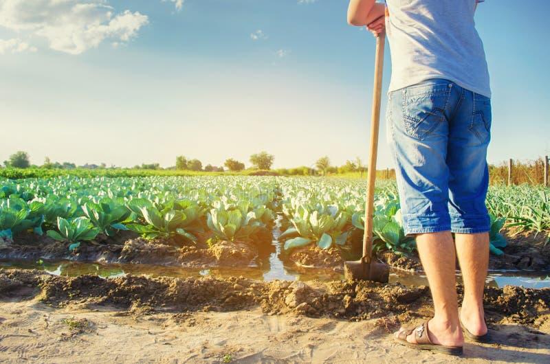 农夫浇灌领域 自然灌溉 圆白菜种植园在领域增长 菜行 种田农业 免版税库存图片