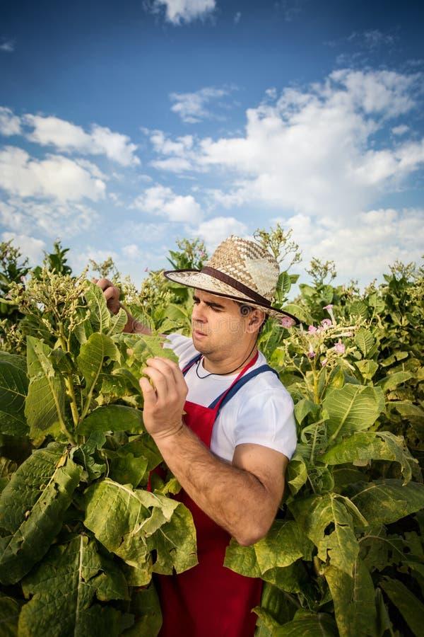 农夫烟草 库存图片