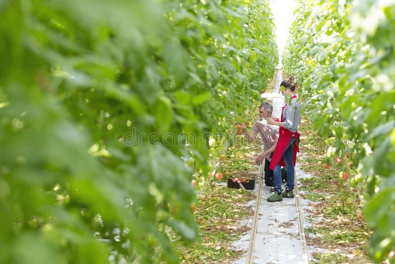 农夫用工友审查的蕃茄自温室 图库摄影