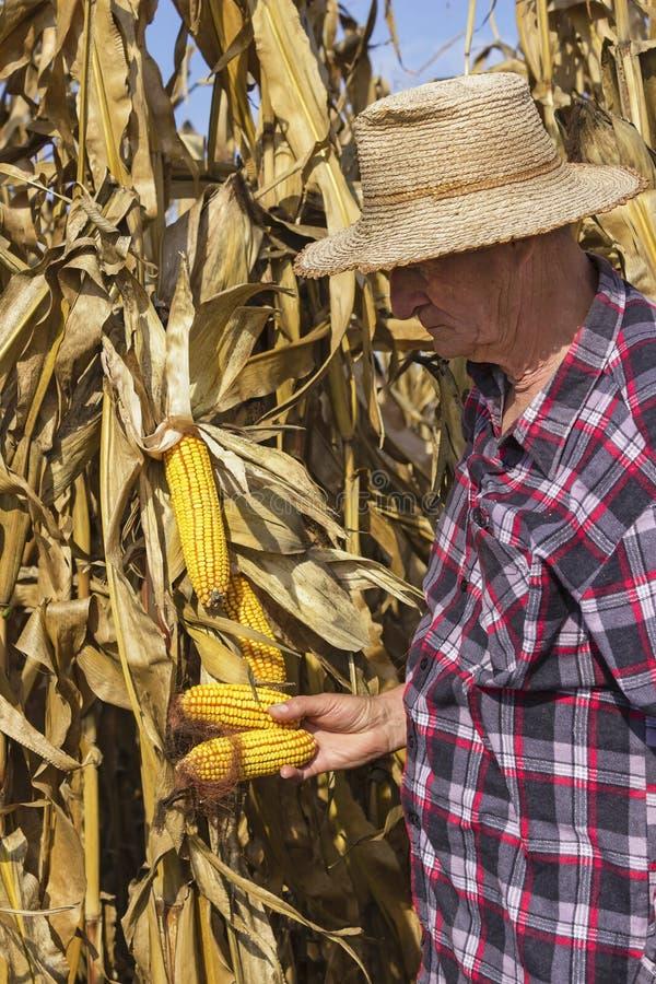 农夫用玉米在他的手上 免版税库存图片