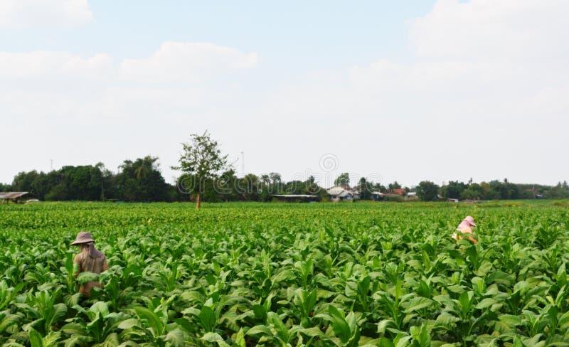 农夫种植了烟草 图库摄影