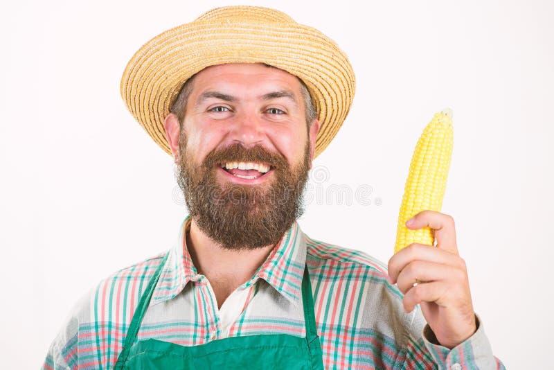 草帽农夫_农夫草帽举行棒子菜 新鲜的有机菜收获人有胡子的提出的棒子或玉米
