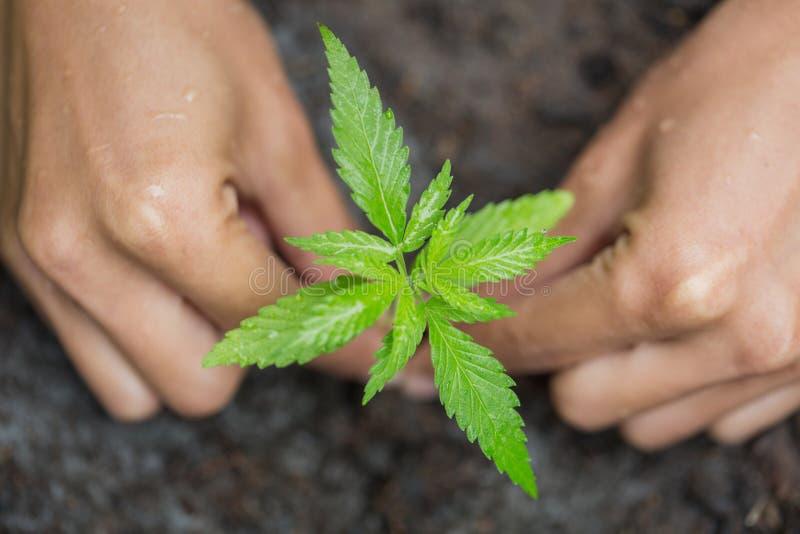 农夫藏品大麻厂,轻轻地拿着他的大麻植物的手肥沃土壤 免版税库存照片