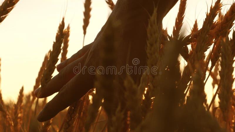农夫递接触麦子的耳朵在日落 农业学家检查成熟麦子的领域 麦子的农夫 库存图片