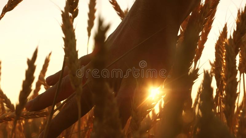 农夫递接触麦子的耳朵在日落 农业学家检查成熟麦子的领域 麦子的农夫 库存照片