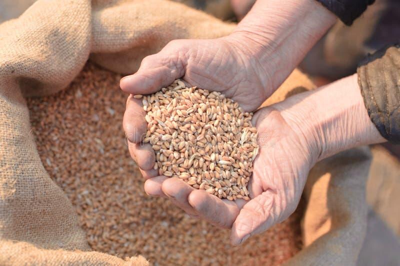 农夫递老麦子 免版税库存照片