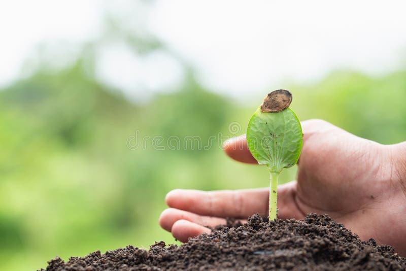 农夫采取手对幼木保护和关心 幼木从丰富的土壤增长 环境概念在地球日 库存照片