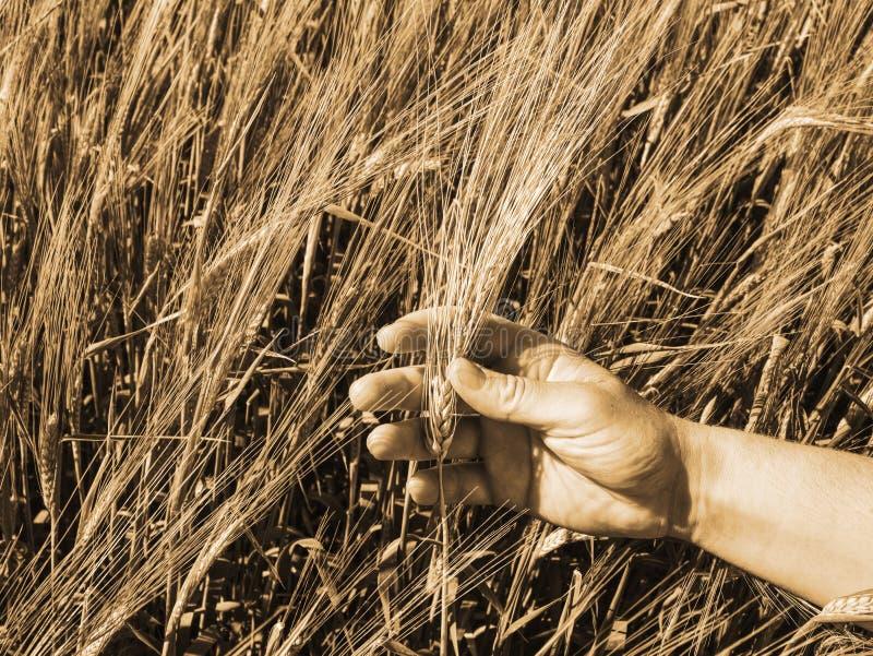 农夫领域的检查植物收获估计的 大麦的领域 免版税库存照片